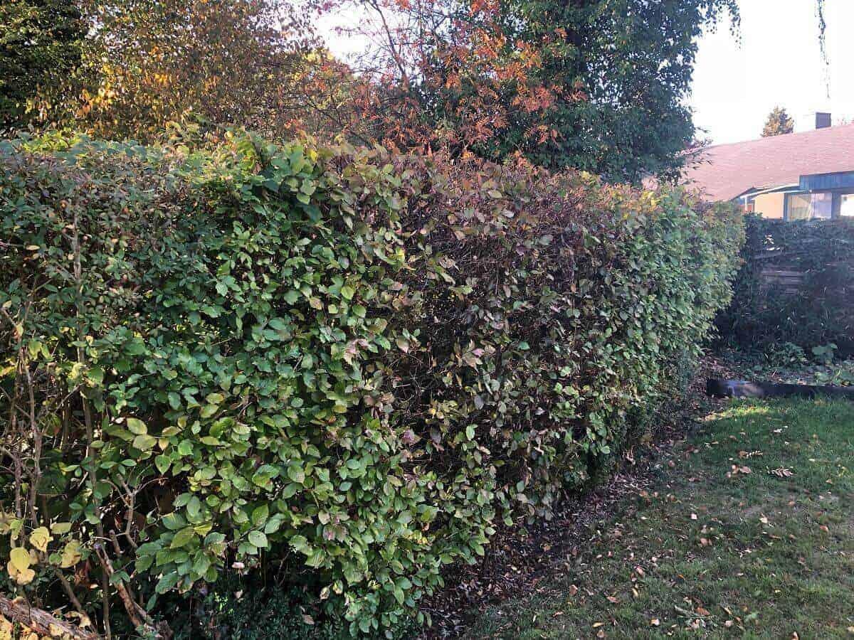 Im Oktober schneiden wir das letzte Mal die Hecke und verwenden dafür zwei Heckenscheren