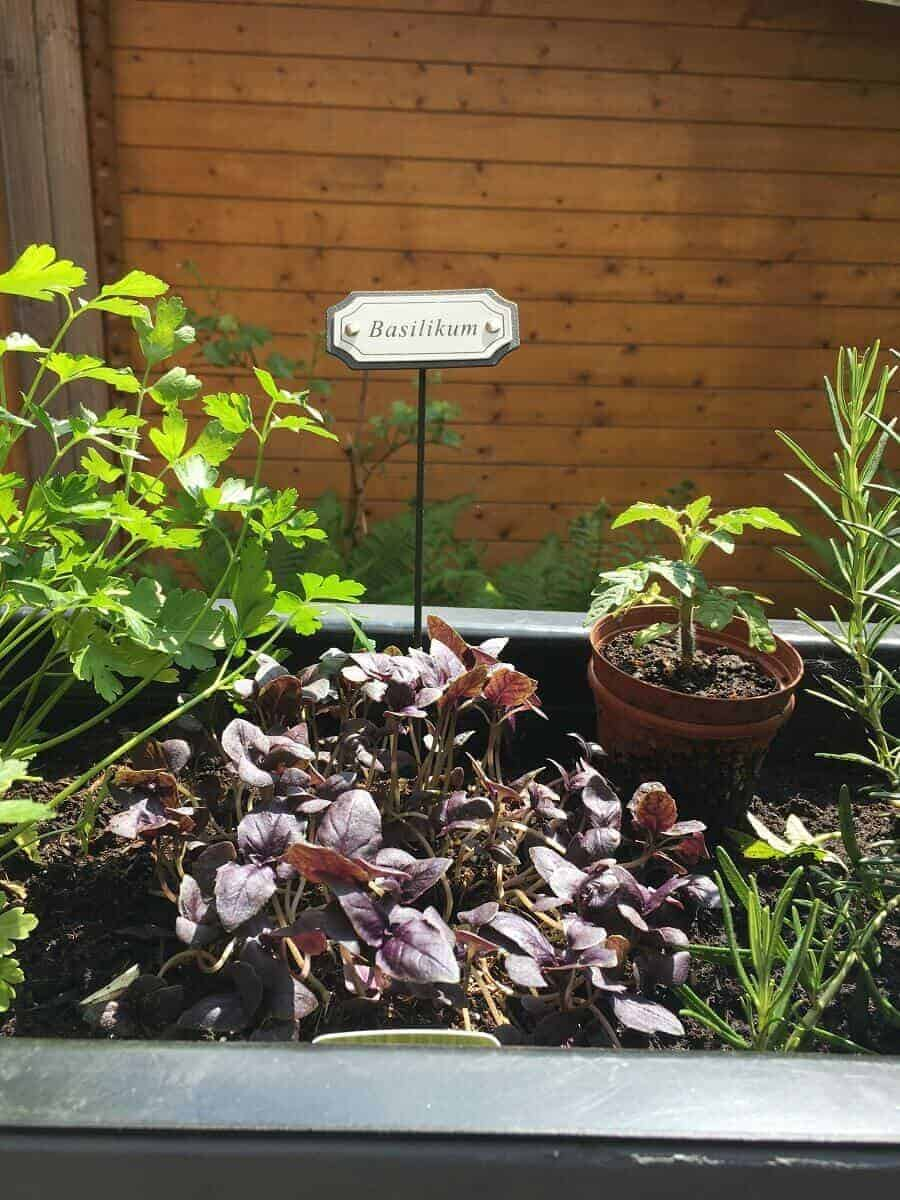 Basilikum gehört in jeden Kräutergarten und hat deshalb natürlich auch einen Platz in unseren Pflanzkübeln