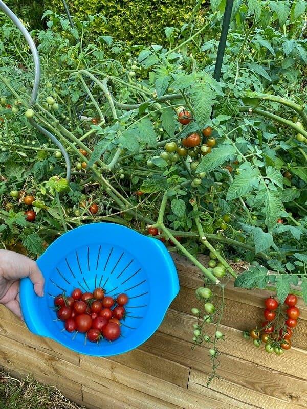 frisch geerntete tomaten sind total lecker im salat und lasssen sich auch zu einer tollen tomatensuppe verarbeiten