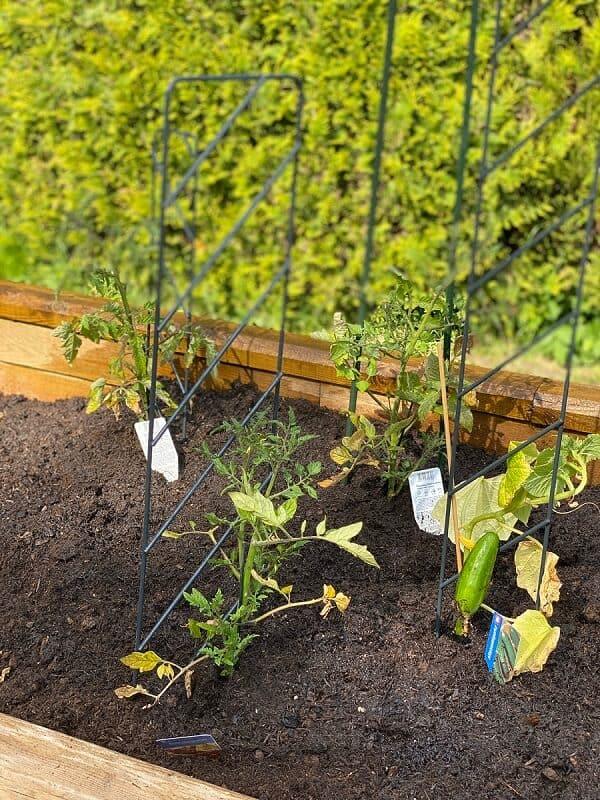 nachdem das hochbeet bepflanzt wurde sieht es noch etwas kahl aus das ändert sich aber schnell