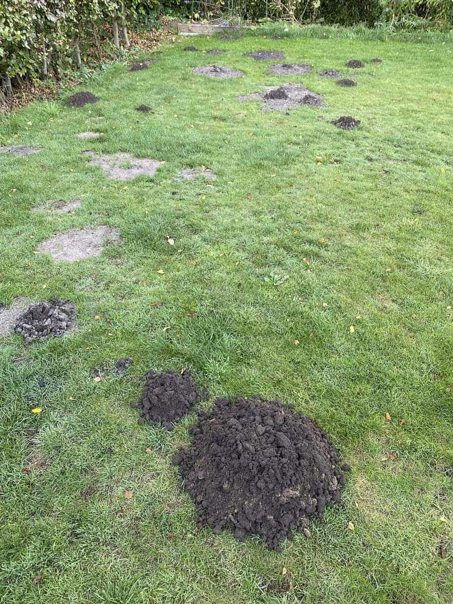 Maulwurf in Garten - Nach zwei Wochen sah der Garten wild aus und hatte fast jeden Morgen wieder Maulwurfshügel