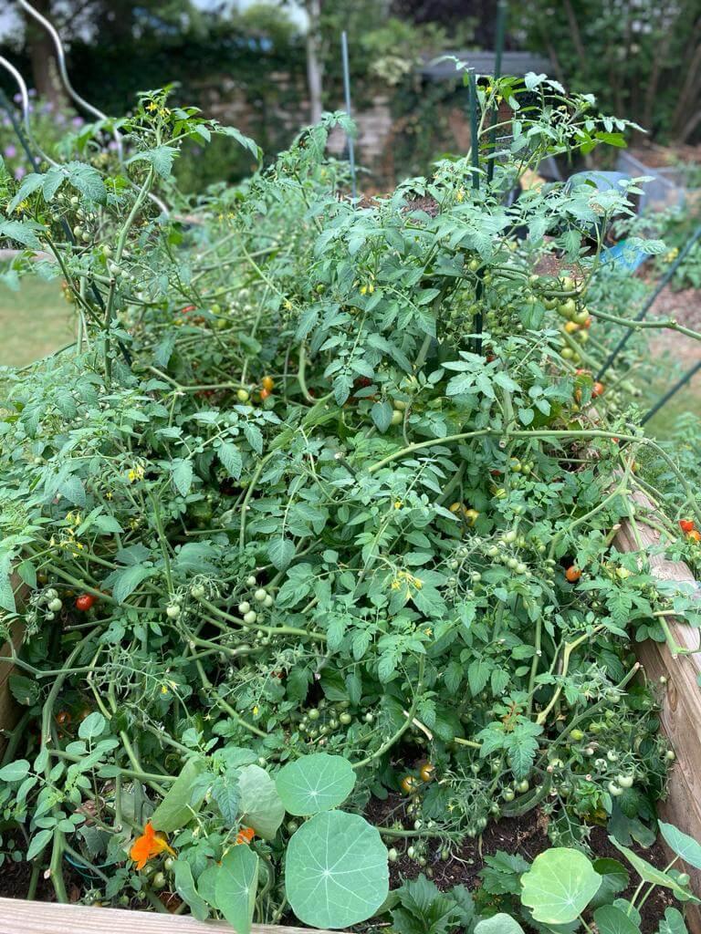Die Tomatenpflanze muss regelmäßig zurückgeschnitten werden, damit die Tomaten ausreichend Sonne bekommen