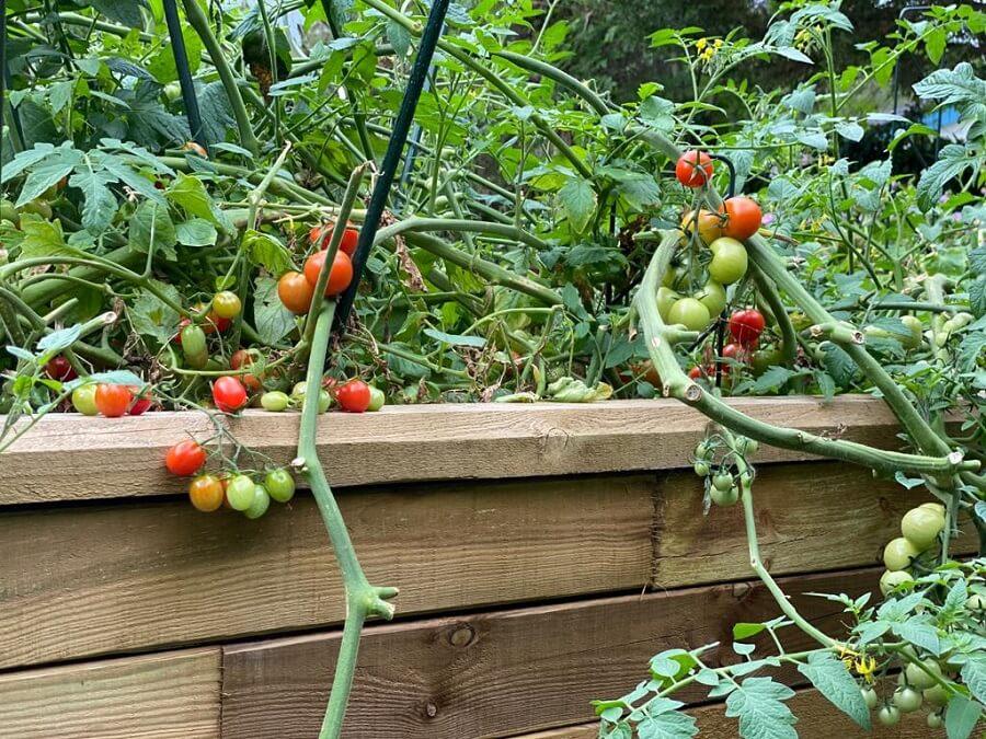 In unserem Garten haben wir eigene Tomaten angepflanzt, die direkt eine ganz tolle Ernte hatte