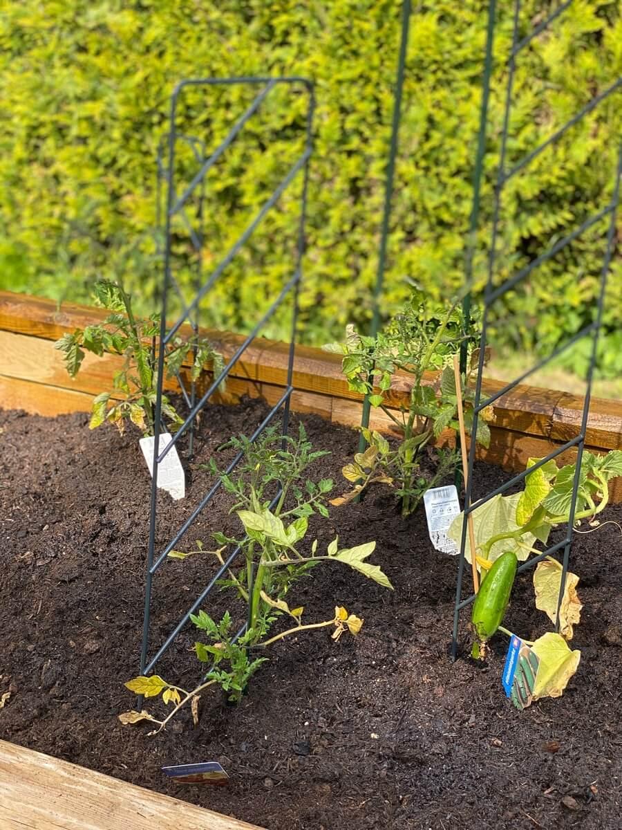 Tomaten anpflanzen - Wir haben die Tomatenpflanze bei uns im Hochbeet neben Gurke und Kohlrabi platziert