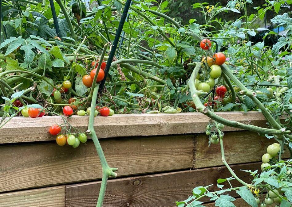 Tomaten im Hochbeet sind eine tolle Möglichkeit, sich selber zu versorgen - Anpflanzen und Pflegen ist dabei gar nicht schwer