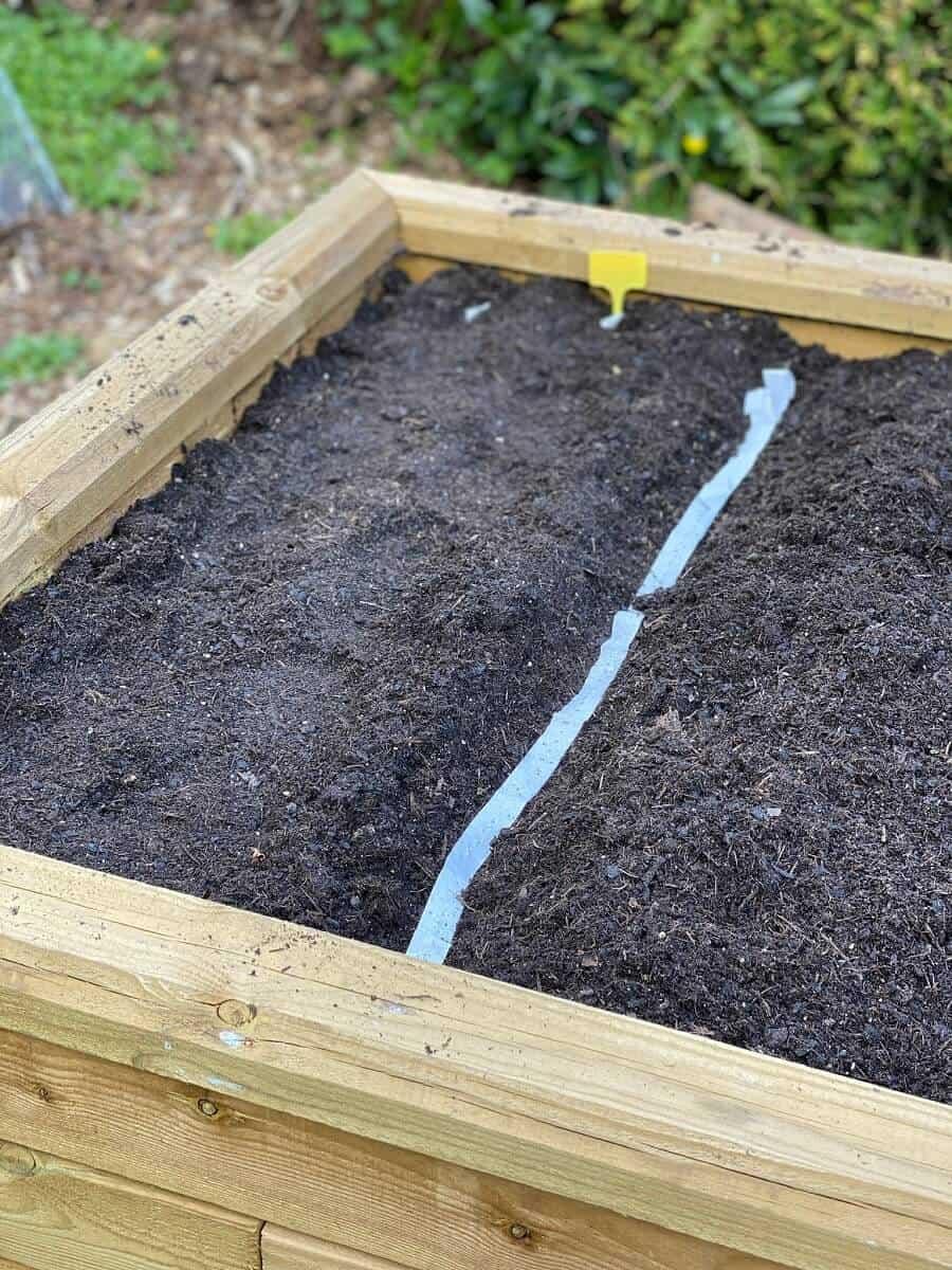 Die Karotten sind im Hochbeet eingepflanzt und müssen gut gewässert werden