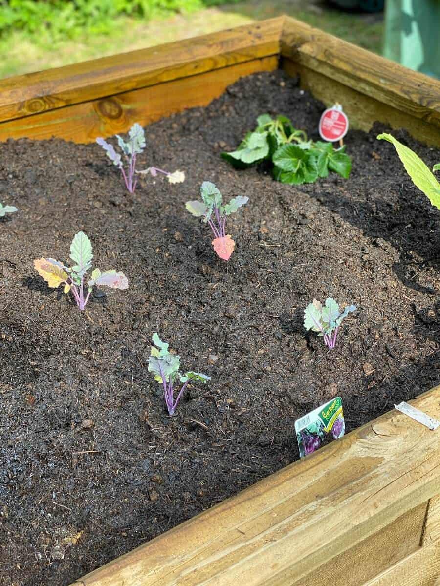Etwa Anfang-Mitte April sind die Kohlrabipflanzen bereit, ausgepflanzt zu werden - bei uns kommen sie ins Hochbeet