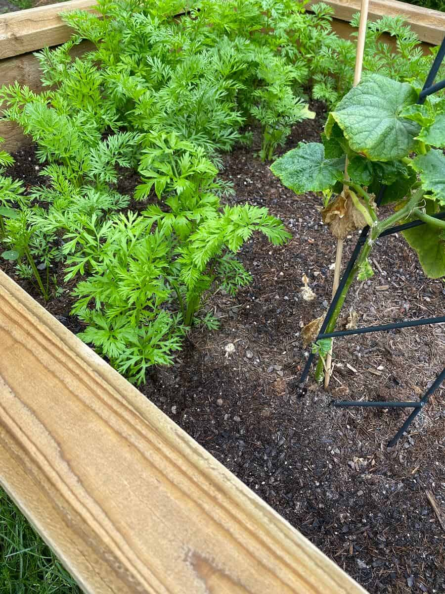 Im Hochbeet vertragen sich Gurken sehr gut mit beispielsweise Möhren - Eine Rankhilfe unterstützt die Gurke beim Wachsen