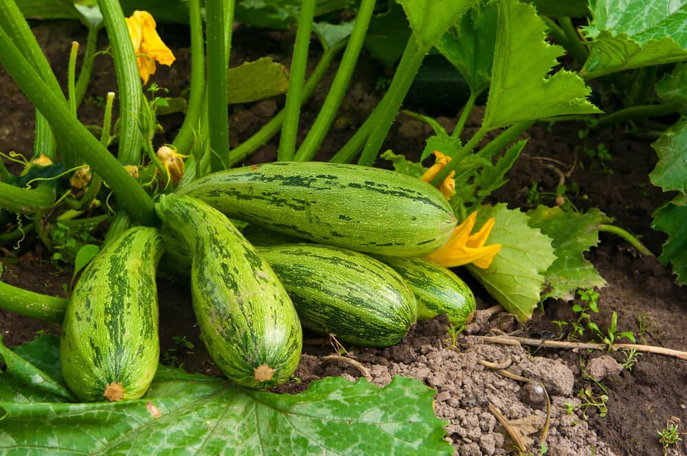 Naschgarten anlegen - Auch Zucchini passt toll in den eigenen Garten