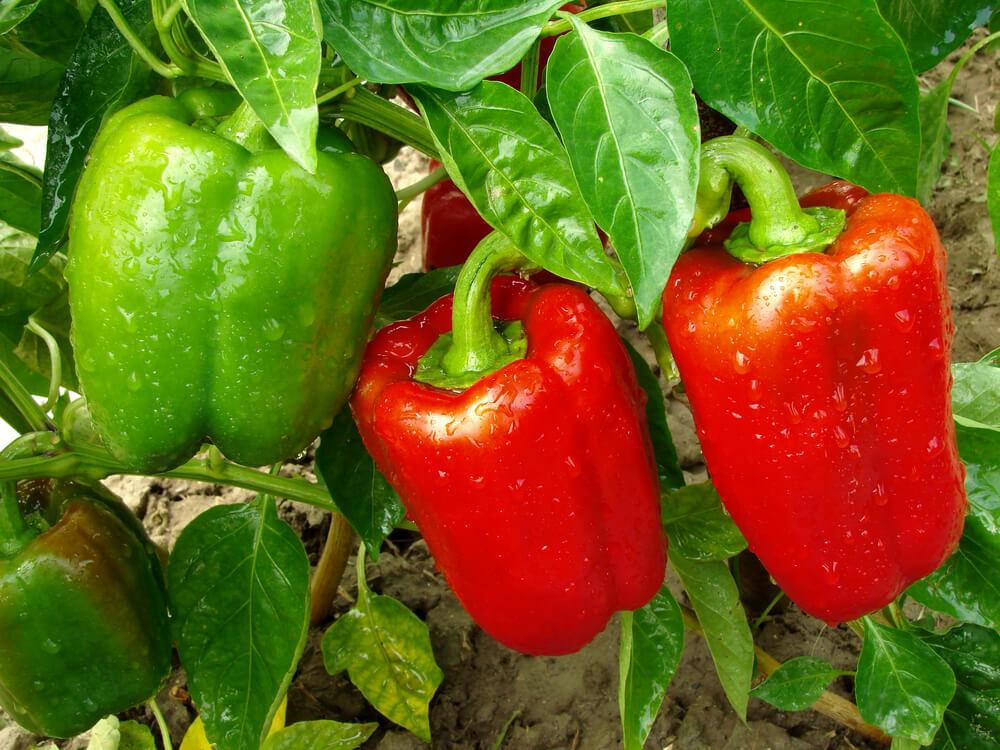 Naschgarten anlegen - Gemüse wie Tomaten, Paprika, Karotten oder Gurke gehören für viele Gartenbesitzer zur Grundausstattung eines Naschgartens